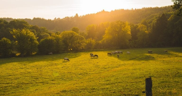 Field of cows at sunset